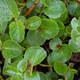 Quendelblättrige Weide - Salix serpyllifolia