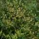 Kleine Wiesenraute