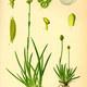 Kleine Simsenlilie