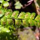 Grüner Streifenfarn