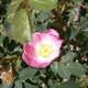 Vogesen Rose