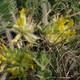 Stengelloser Tragant - Astragalus exscapus