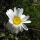 Alpen Wucherblume