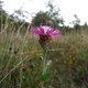 Schmalblättrige Wiesen-Flockenblume