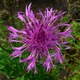 Kleinköpfige Rispen-Flockenblume