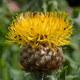 Großköpfige Flockenblume