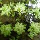 Stumpfkantiger Wasserstern