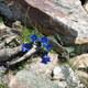 Alpen-Enzian - Gentiana alpina