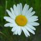 Magerwiesen-Margerite