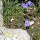 Ausgeschnittene Glockenblume