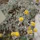 Gletscher-Edelraute - Artemisia glacialis