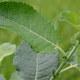 Schwarz-Weide - Salix nigricans