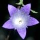 Nesselblättrige Glockenblume