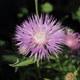Phrygische Flockenblume