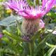 Perücken Flockenblume
